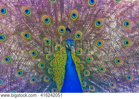 Portrait Of A Peacock With Its Tail Outstretched. The Colorful Bird Has Beautiful Colored Eyes On It