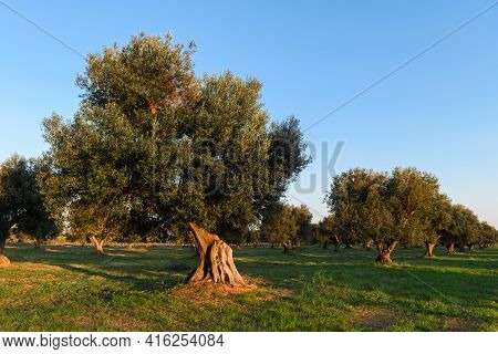 Beautiful Olive Trees Background From Salento, Puglia. Mediterranean Olive Field With Old Olive Tree