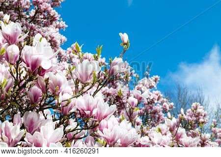 Beautiful Light Pink Magnolia Tree With Blooming Flowers During Springtime In English Garden, Uk. Sp