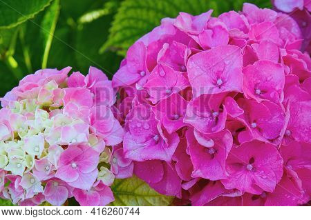 Selective Focus To Natural Gentle Pink Flowers Of Hydrangea Botanical With Dewdrops Early Morning In