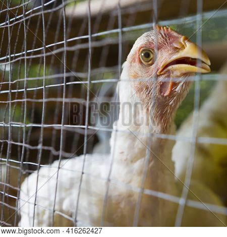 Small Chicken Inside Cage. Farm, Poultry In Matapalo, Costa Rica (selective Focus)