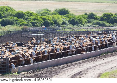 Group Of Brown Cows Looking At The Camera In A Farm Land In Uruguay. This Is The Result Of Intensive