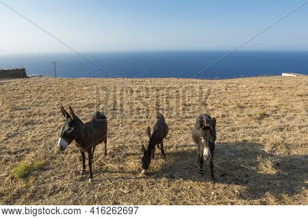 Three Donkeys Standing In The Fields With The Aegean Sea In The Background. Folegandros, Greece