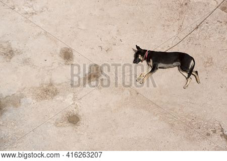 Chained Wild Dog Sleeping On Hot Floor In Morocco