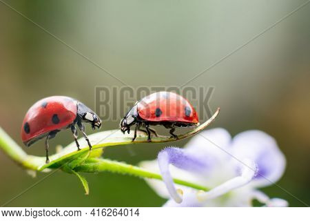 Couple Of Red Tiny Ladybugs On Fragile Flower Looking To Each Other, Climbing Opposite. Concept Of L