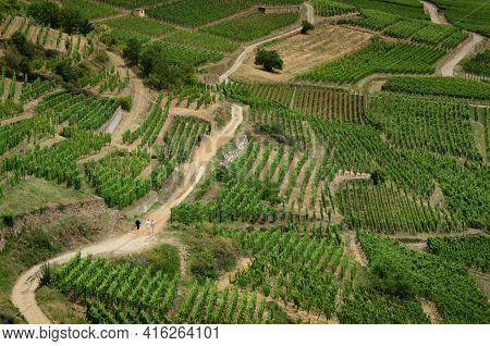Summer View Between The Vines Of The Vineyard Of Keysersberg, Famous Winemaking Village In Alsace, N
