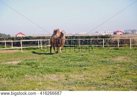 Azerbaijan. 10.03.2021. Camel Portrait Closeup Of A Camel In Azerbaijan . Camel Owners Leave Their A