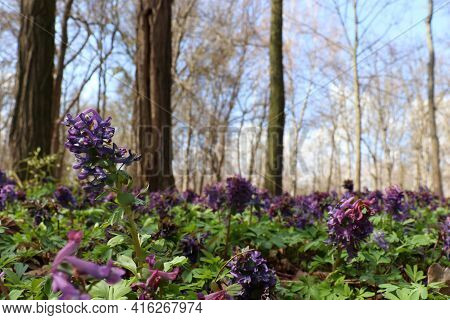 Spring Landscape With Purple Bird, Fumewort Flower Corydalis Solida In The Forest. Honey And Medicin