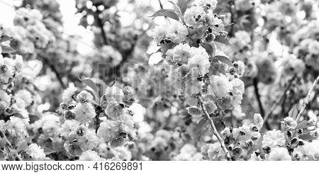 Sakura Flowers. Sakura Flowers On Background Close Up. Floral Backdrop. Botanical Garden Concept. Te