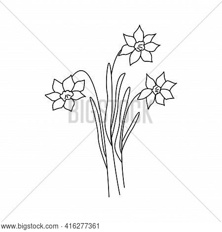 Daffodils Flowers. Three Narcissus Flowers. Black And White Vector Doodle Style Illustration
