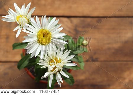 White Daisy Flowers In The Pot On A Wood Table At Home. Close-up Of Large Garden Chamomile On Wooden