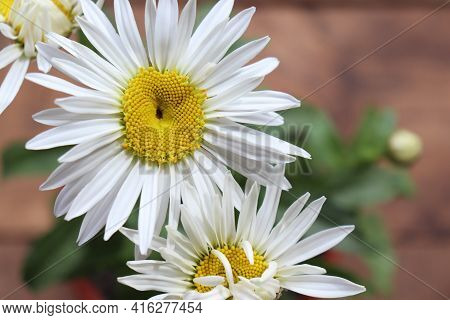 White Daisy Flowers In The Pot On A Wood Table At Home. Top View Of Large Garden Chamomile On Wooden