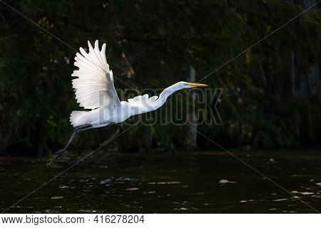 Egret On Reelfoot Lake In Tennessee During The Summer