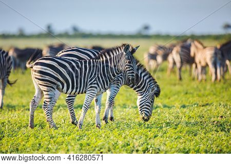 Common Zebras (equus Quagga) Foraging In Bushveld Savanna Of Kruger National Park South Africa In Br
