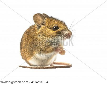 Sitting Wood Mouse (apodemus Sylvaticus) Isolated On White Background. This Cute Looking Mouse Is Fo