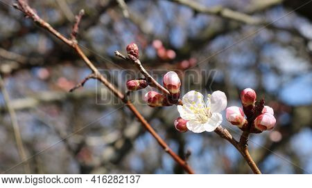 A Sprig Of An Apricot Tree With Swollen Pink Buds And Opened White Flowers With A Yellow Core Close-