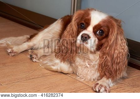 The Little Dog Cavalier King Charles Spaniel Is Lying On The Floor. Beautiful Purebred Cavalier King