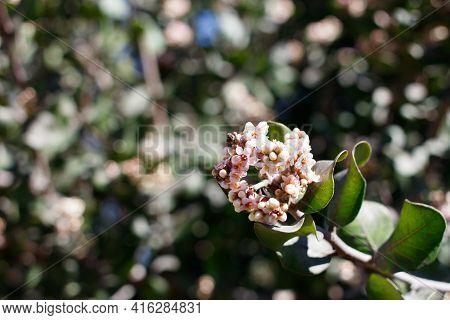 Terminal Indeterminate Panicle Inflorescences Bloom On Bittersweet Sumac, Rhus Integrifolia, Anacard