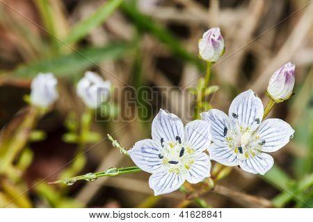 Alpenblumen Edelweiß