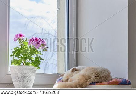 Blooming Houseplant In A Pot Pelargonium Regal And A Cute Sleeping Domestic Cat On A Windowsill In A