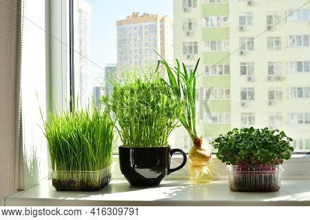Micro-greens In A Box And Sprayer Close-up, Placed On The Windowsill.vitamins On Windowsill. Fresh G