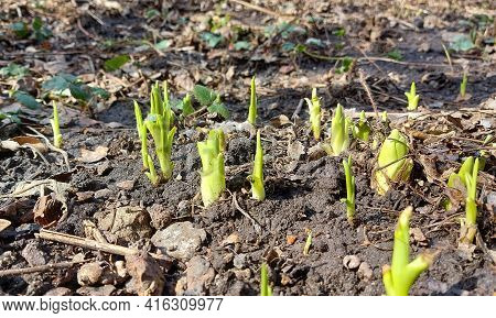 Daylily Sprouts Sprouted In The Garden Bed. Spring, Sunny Day, Gardening, Flowers