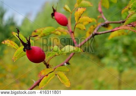 Red Berries Of Wild Rose In The Autumn Forest. Red Berries On A Green Blurred Background. Autumn Nat