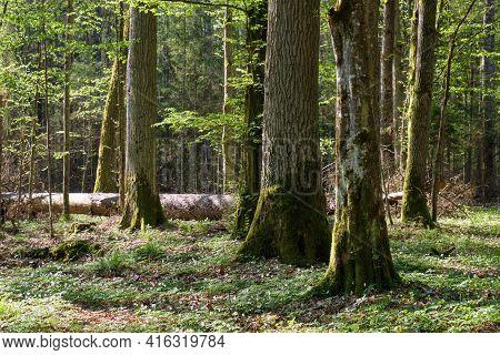 Hornbeam Tree Deciduous Forest In Spring