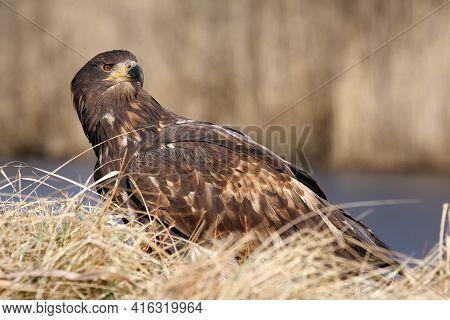 White-tailed Eagle (haliaeetus Albicilla) Are Also Known As Sea Eagle Sitting On The Shore.big Eagle