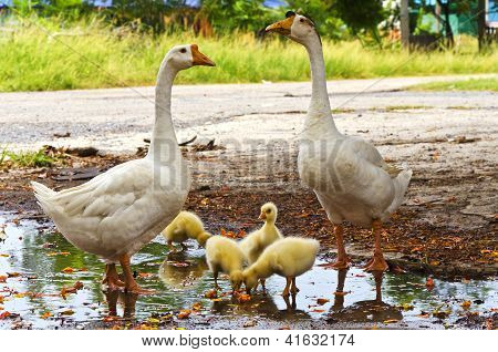 small ducklings in group with the mother