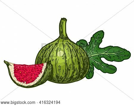White Fig. Fruit. Ink Sketch Of Food By Line On White Background. Closeup Figs Fruit. Vibrant Colors