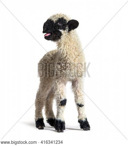 Lamb Valais Black Nose sheep bleating isolated on white