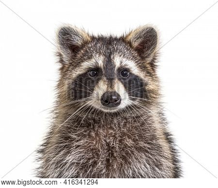 Head shot of a young Raccoon facing at the camera, isolated, Face to face