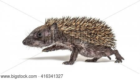 Side view of a baby European hedgehog walking away on a white background