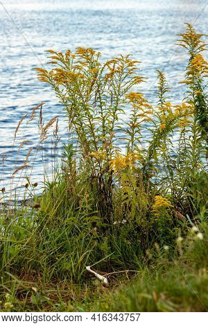 Vertical Photo Of Yellow Flowers (wild Goldenrod), Wild Grass And Reeds Growing Near Blue Water