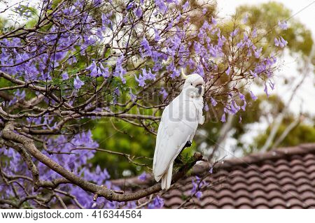 Sulphur-crested Cockatoo Sitting On A Jacaranda Tree In A Full Bloom With Beautiful Purple Flowers.