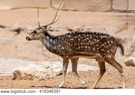 A Chital (axis Axis), Also Known As Spotted Deer, Chital Deer, And Axis Deer Walks Along The Dry Ind