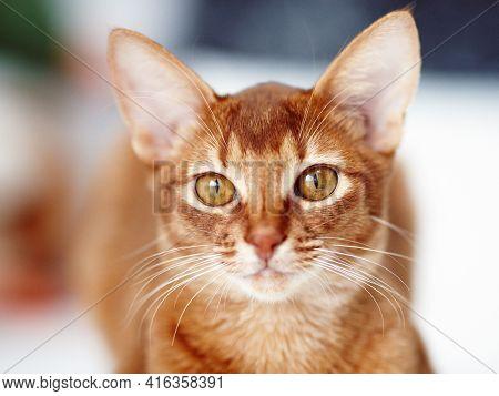 Portrait Of Red Cat