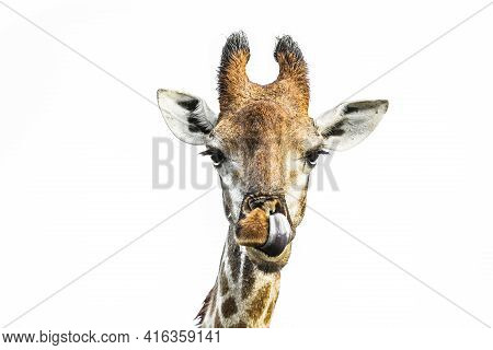 Giraffe Portrait Front View Isolated In White Background In Kruger National Park, South Africa ; Spe
