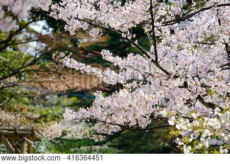 Sakura Cherry Blossoms Trees In Park Or Garden On Sunshine Day, Many Soft Pink Full Bloom Sakura Tre
