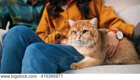 Close Up Of Lovely Fluffy Cute Big Cat In Woman Hands Sitting On Sofa In Cozy Room. Relaxed Cute Ani