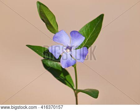 Blue Flower Of Periwinkle Or Vinca In Spring