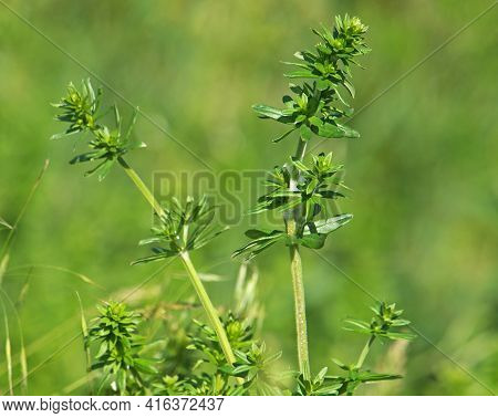 Galium Species Plant On A Meadow, Bedstraw