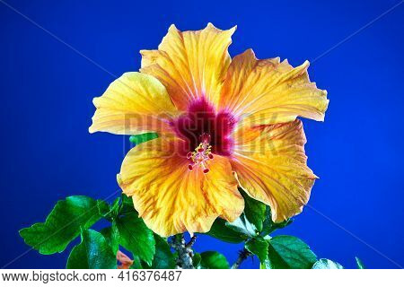 Detail Of A Blooming Orange Hibiscus Flower