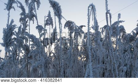Reed Grass With A Lot Of Hoarfrost