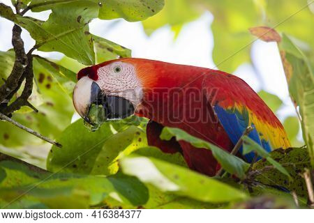 Portrait Of A Beautiful Big Red Parrot During Its Meal In A Natural Tropical Habitat, Osa, Costa Ric