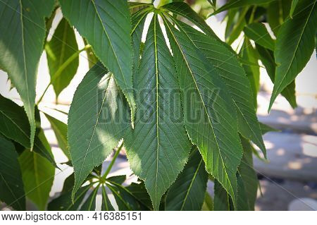 Closeup Of The Summer Leaves On A Buckeye Tree