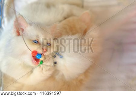White Persian Cub Playing Close Up. Fashion Kitty Cat With Pedigree And Blue Eyes. Concept Of Comfor