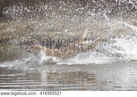 A Golden Retriever Leaps Into The Water In Hauser, Idaho.