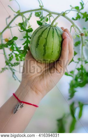 Miniature Watermelon Grown In The Home, Held In A Hand